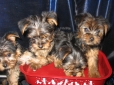 Yorkshire Terrier, 2 mos, Blue and Gold